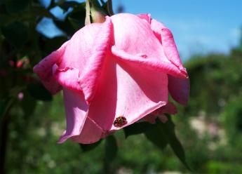 rose-et-coccinelle