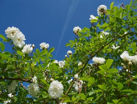 roses-et-ciel