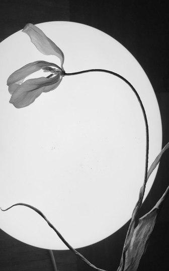 apresvie-tulipe