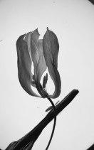 tulipe-seche